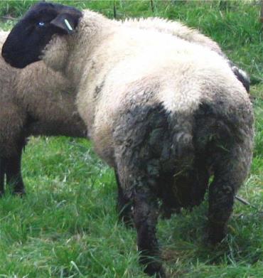 نواحی پشت گوسفند آغشته به مدفوع و خاک مناسب برای حمله مگسها