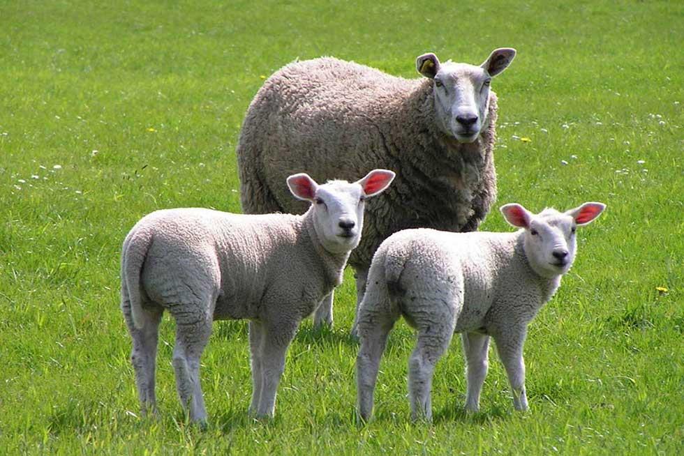 نکاتی در ارتباط با گوسفند و بیماریهای آن