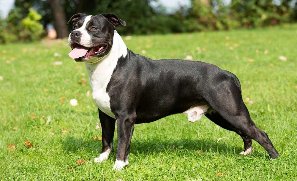 سگ امریکن استافوردشایر تریر