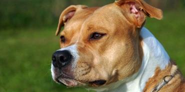 تاریخچه سگ امریکن استافوردشایر تریر