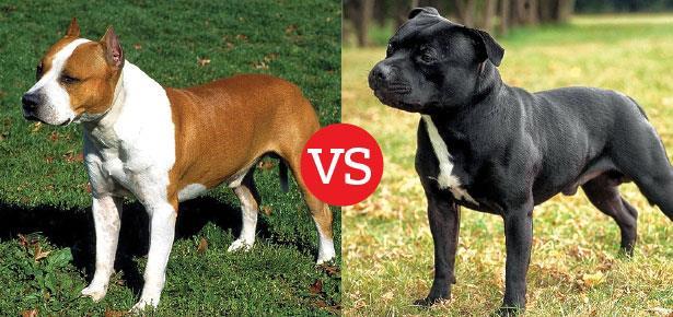 مقایسه دو نژاد سگ امریکن استافوردشایر تریر و استافوردشایر بول تریر