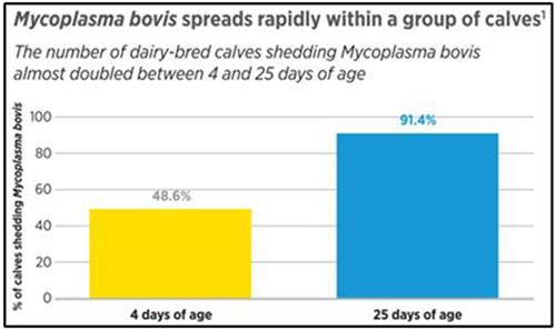 مایکوپلاسما بویس بهسرعت بین گوسالهها منتشر میشود