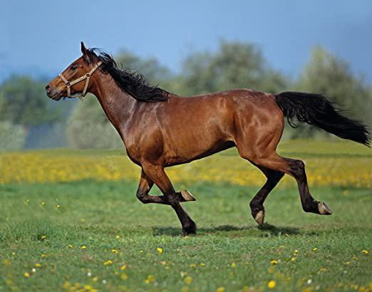 اسب نژاد هانگرین هافبرد