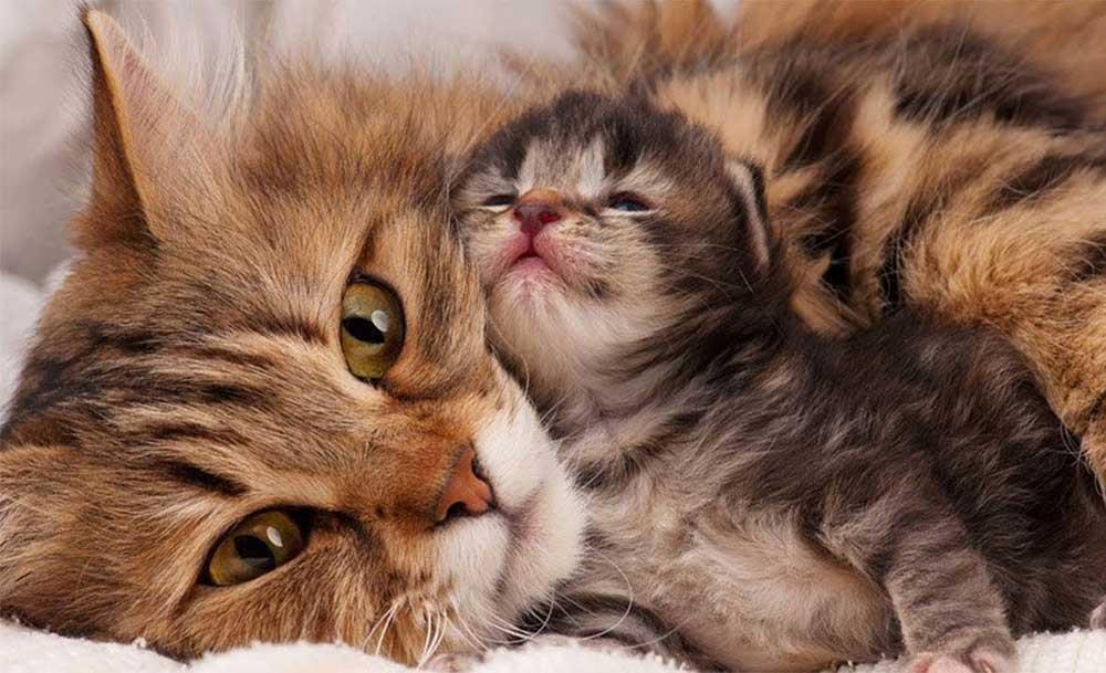 زایمان و بچهآوری گربهها