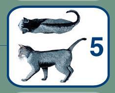 گربه متناسب