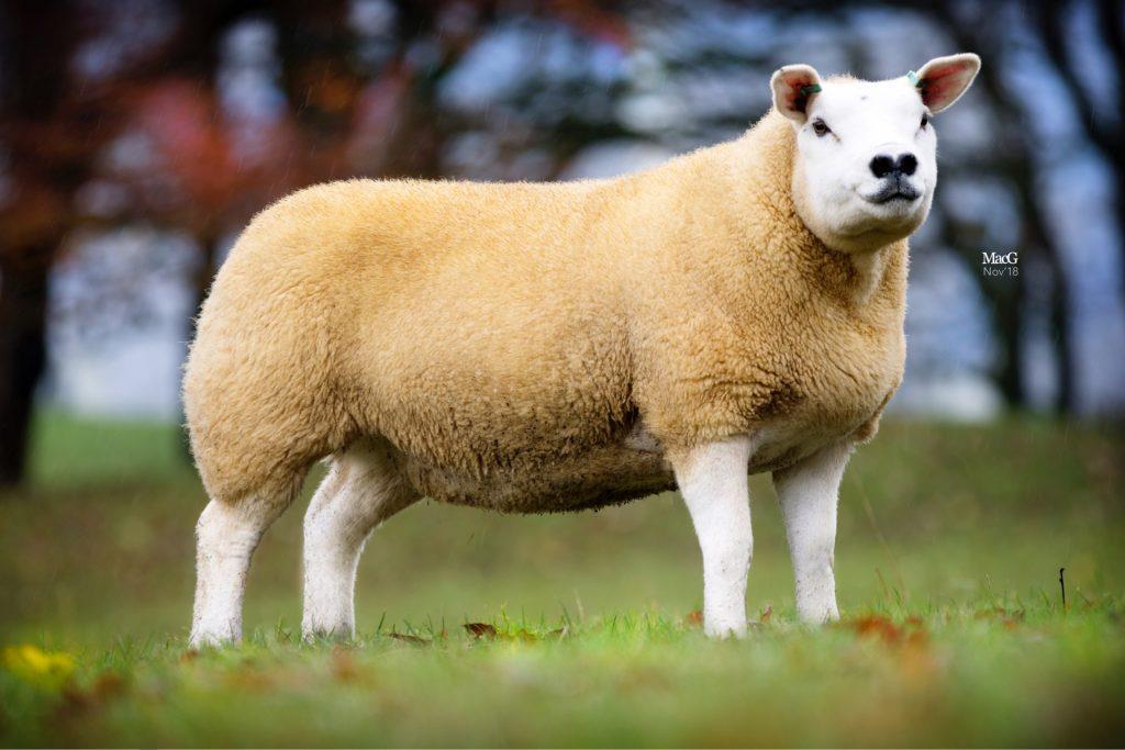 گوسفند تکسل