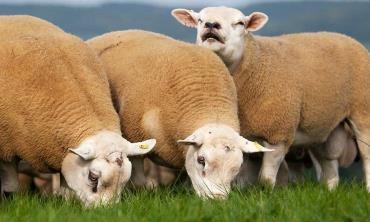 خصوصیات گوسفند تکسل