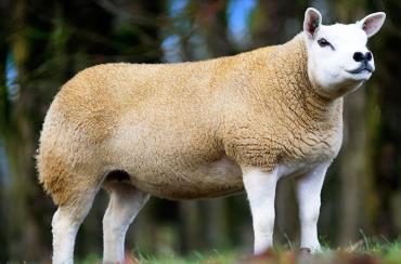 گوسفند نژاد گوشتی تکسل