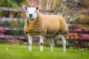 مصارف گوسفند تکسل
