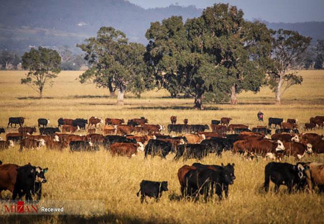 دامپروری در استرالیا