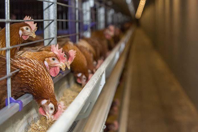 نقش ویتامین D در تندرستی مرغ های تخمگذار