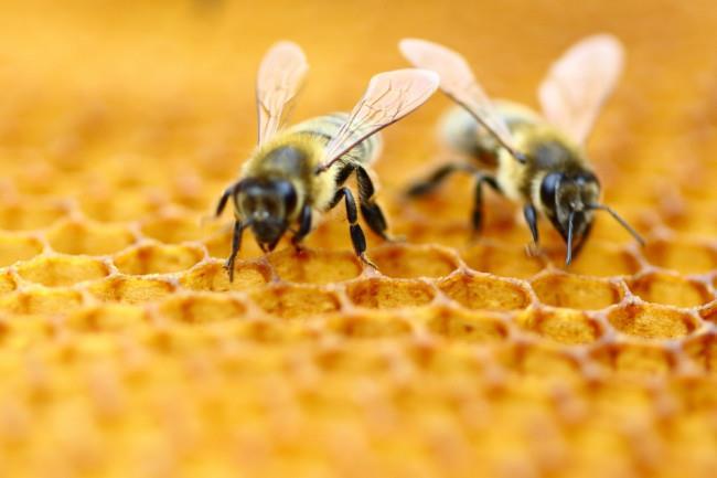 مروری بر اصلاح نژاد زنبورعسل