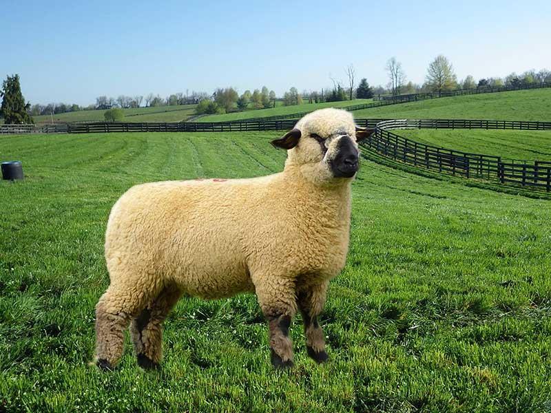 گوسفند نژاد همشایر