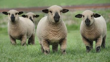 گوسفند همشایر