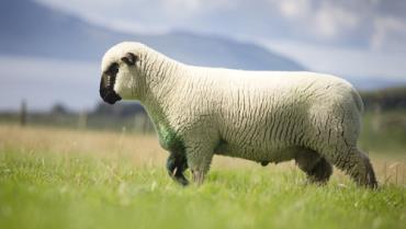 مشخصات گوسفند همپشایر