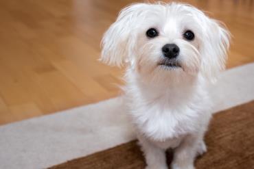 تغذیه سگ مالیتز