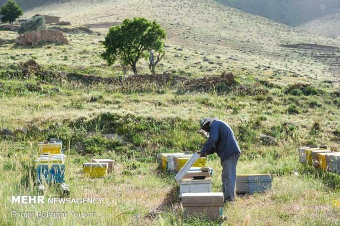 زنبورعسل اروپایی و ایرانی