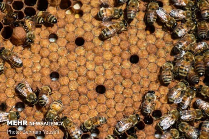 زنبورعسل ایرانی