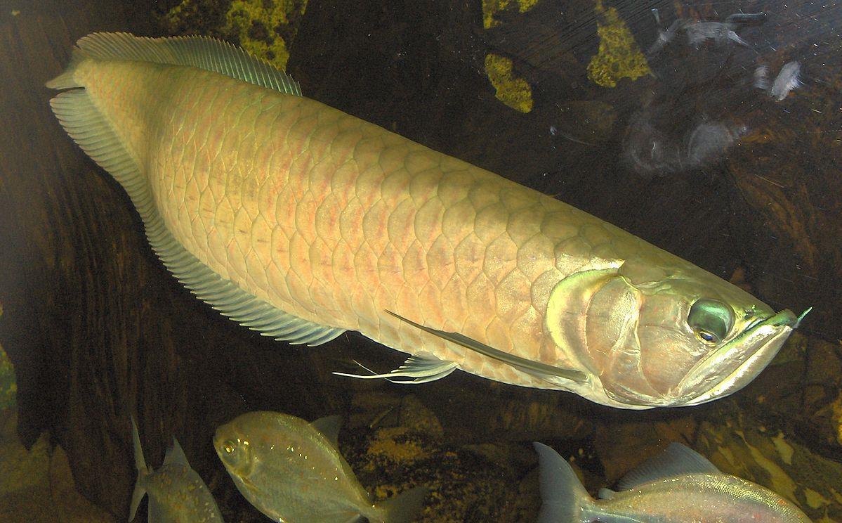 ماهی آروانا (Arovana)
