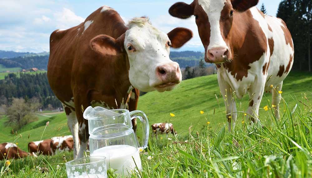 بهبود اسیدهای آمینه جهت افزایش پروتئین شیر