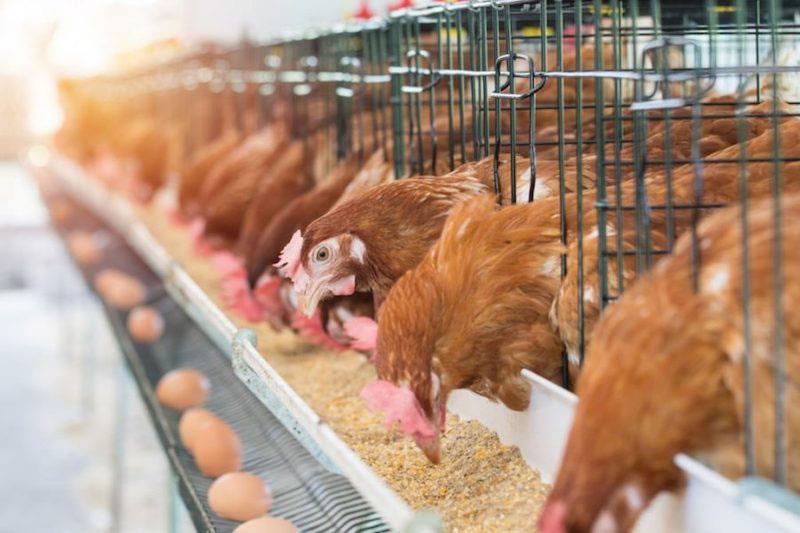 تاثیر سیستم های مختلف نگهداری مرغ تخمگذار بر سلامت و کیفیت میکروبیولوژی تخم مرغ