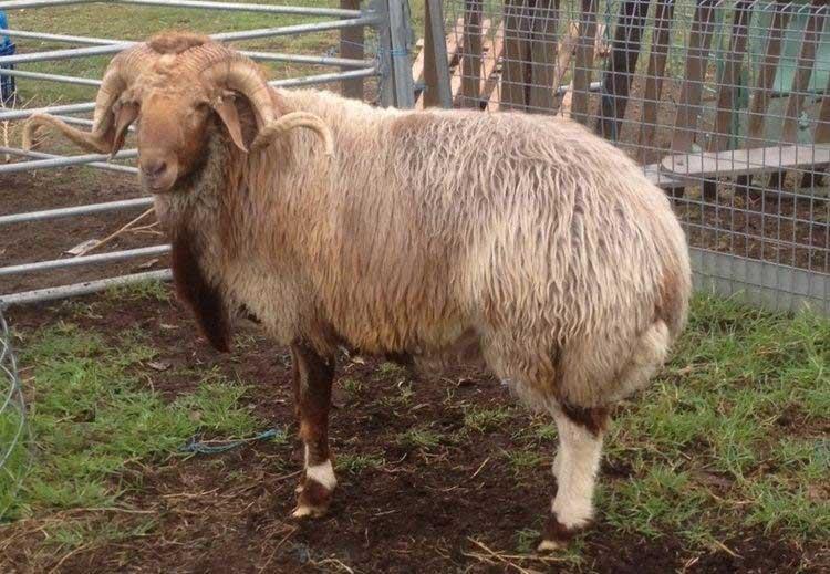 گوسفند نژاد آواسی