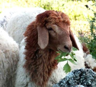 گوسفند آواسی