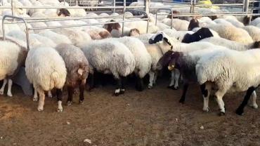 گوسفند سوری