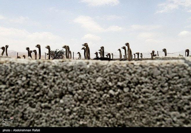 مزرعه پرورش شترمرغ