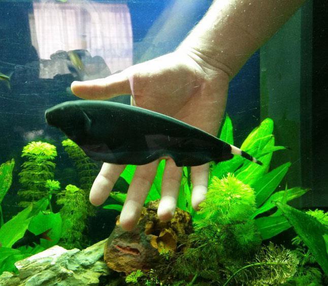ماهی روح سیاه