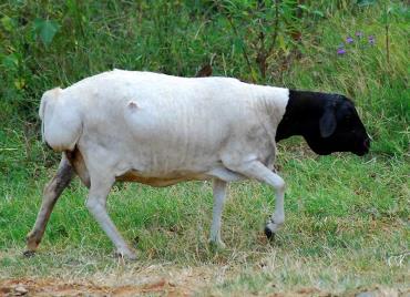 گوسفند سرسیاه پارسی