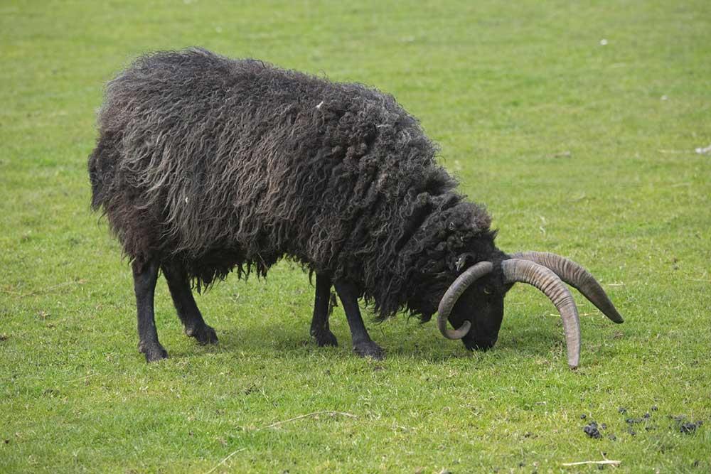 گوسفند نژاد هبریدان (Hebridean Sheep)