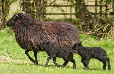 میش و بره گوسفند هبریدان