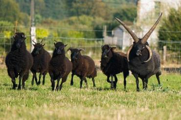 خصوصیات ظاهری گوسفند هبریدان