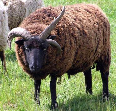 مشخصات گوسفند هبریدان