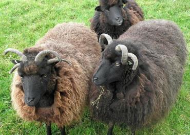 گوسفند هبریدان