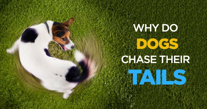 چرا سگ ها دور خود چرخیده و دمشان را دنبال می کنند؟