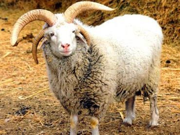 مشخصات ظاهری گوسفند آلتای