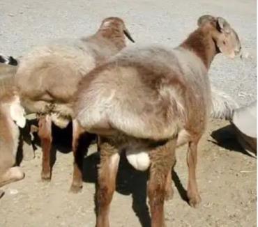 دنبه گوسفند آلتای