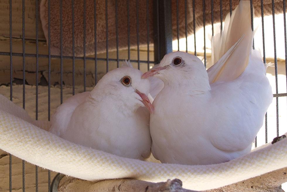 راهنمای نگهداری از کبوتر