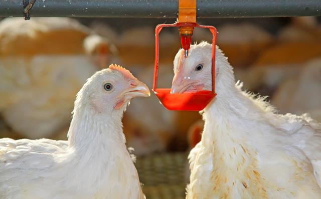 سیستم آبرسانی مرغداری را چگونه پاکیزه کنیم؟!