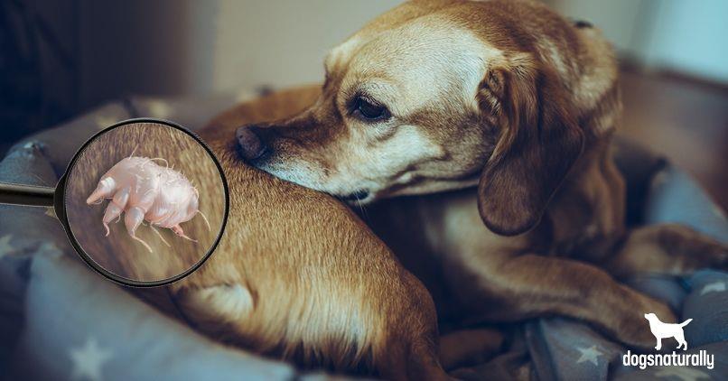 جرب سارکوپتیک در سگ