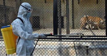 آزمایش کرونای یک ببر در نیویورک مثبت اعلام شد