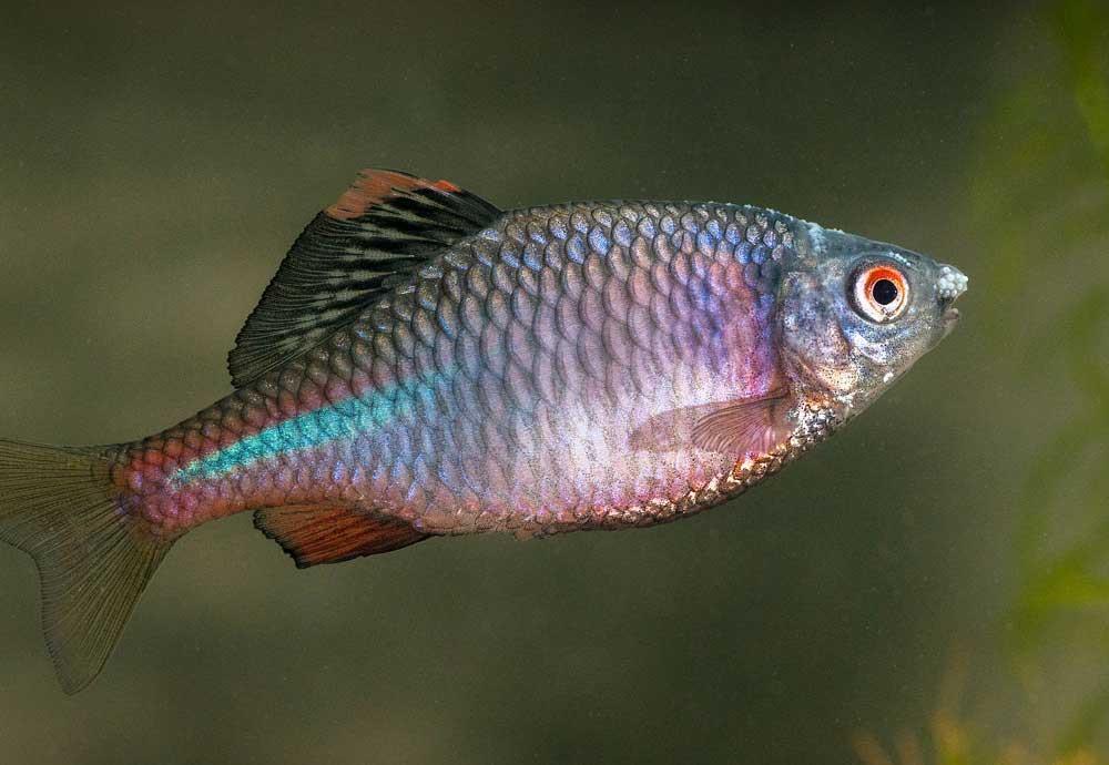 ماهی بی ترلینگ (Amur bitterling)