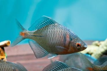 مشخصات ماهی بی ترلینگ