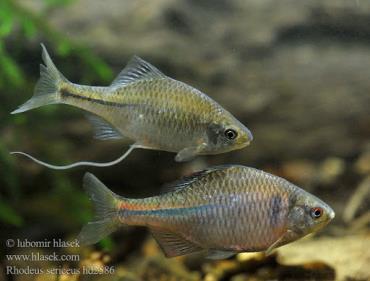 تکثیر ماهی بی ترلینگ