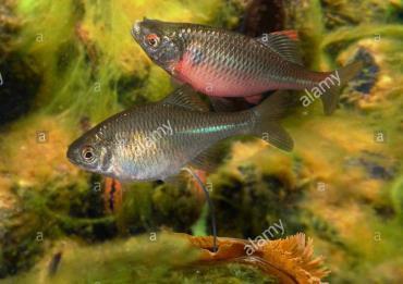 تشخیص بارداری با کمک ماهی بی ترلینگ