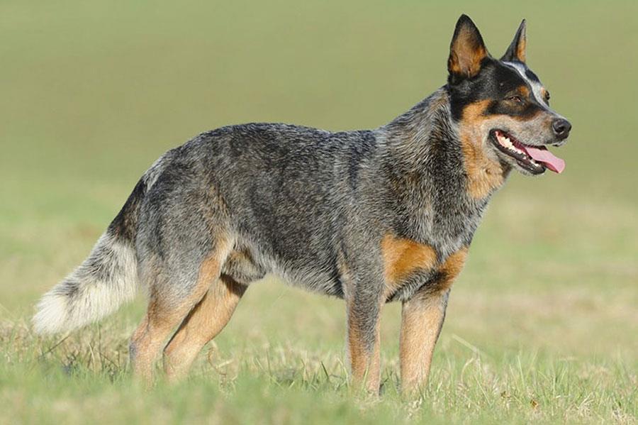 سگ گله استرالیایی (Australian Cattle Dog)