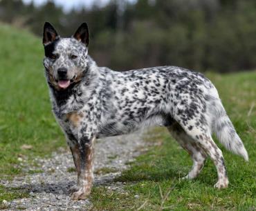 مشخصات ظاهری سگ گله استرالیایی
