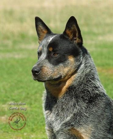 نگهداری سگ گله استرالیایی